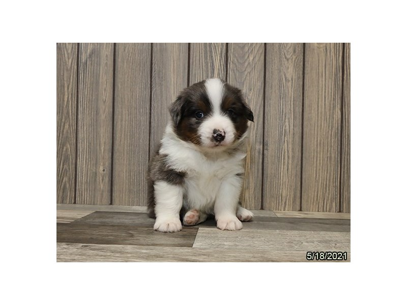 Miniature American Shepherd- Available 6/17-DOG-Male-Blue Merle-3180133-PetCenter Old Bridge Puppies For Sale