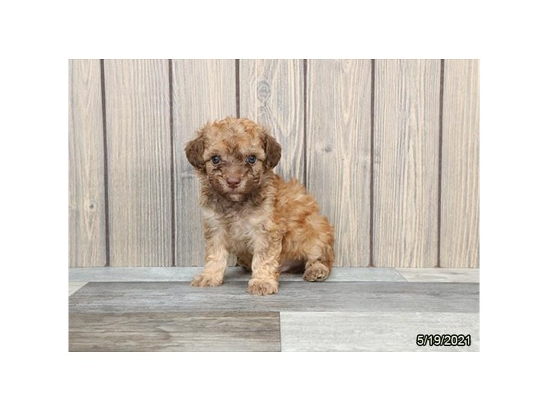 Poodle- Available 6/17-DOG-Male-Fawn-3180134-PetCenter Old Bridge Puppies For Sale