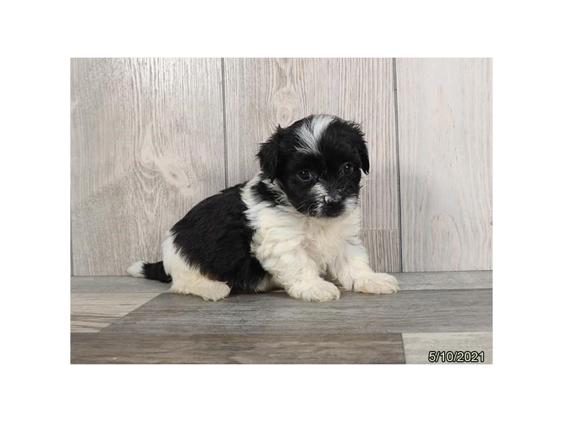 Havanese- Available 6/17-DOG-Male-Black-3180135-PetCenter Old Bridge Puppies For Sale