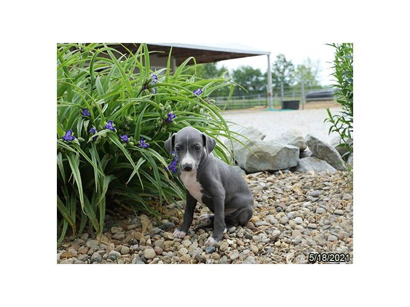 Italian Greyhound- Available 6/17-DOG-Male-Blue-3180756-PetCenter Old Bridge Puppies For Sale