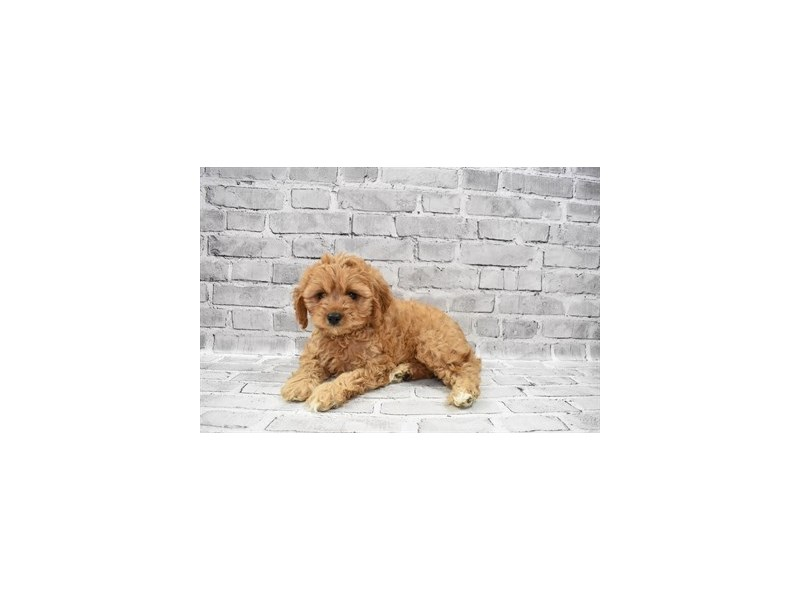 Cavapoo- Available 6/17-Female-Red-3181809-PetCenter Old Bridge Puppies For Sale