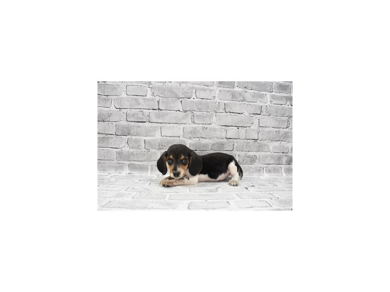 Beagle- Available 6/17-DOG-Male-Black White and Tan-3181845-PetCenter Old Bridge Puppies For Sale