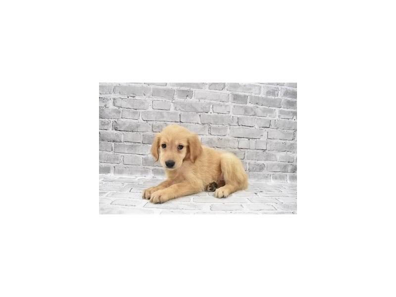 Golden Retriever- Available 6/17-DOG-Female-Light Golden-3181918-PetCenter Old Bridge Puppies For Sale