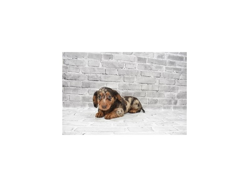 Dachshund- Available 6/17-DOG-Male-Chocolate and Tan-3181935-PetCenter Old Bridge Puppies For Sale