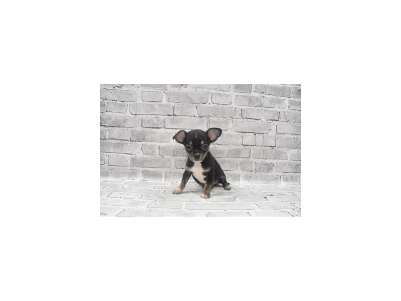 Chihuahua- Available 6/17-DOG-Male-Black and Tan-3181943-PetCenter Old Bridge Puppies For Sale
