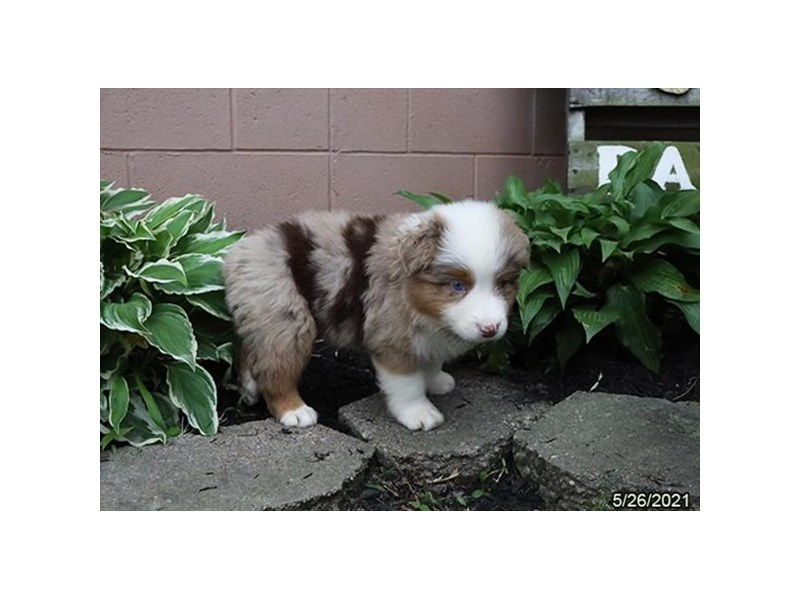 Australian Shepherd- Available 6/24-DOG-Male-Red Merle-3189150-PetCenter Old Bridge Puppies For Sale