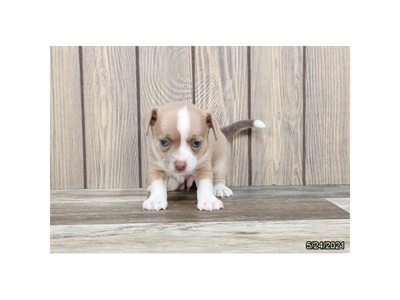 Chihuahua- Available 6/24-DOG-Male-Fawn / White-3189152-PetCenter Old Bridge Puppies For Sale