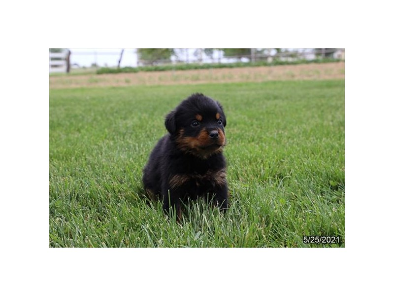 Rottweiler- Available 6/24-DOG-Male-Black / Tan-3189155-PetCenter Old Bridge Puppies For Sale