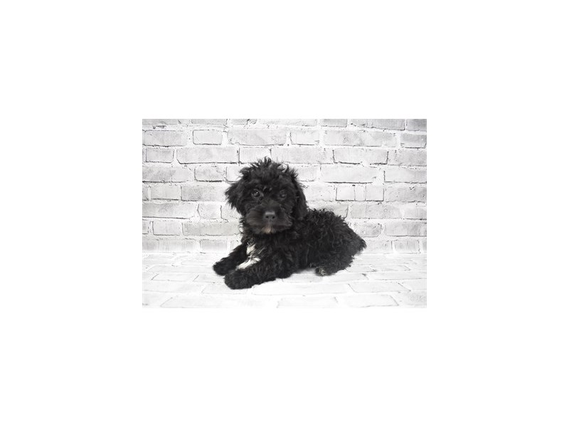 Yorkiepoo- Available 6/24-Male-Black-3190840-PetCenter Old Bridge Puppies For Sale