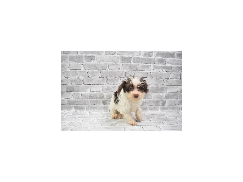 Yorkiepoo- Available 6/24-DOG-Female-Brown and White-3190841-PetCenter Old Bridge Puppies For Sale