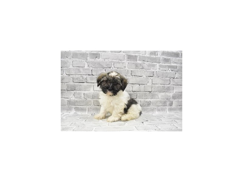 Havanese- Available 6/24-DOG-Male-Gold Brindle-3190847-PetCenter Old Bridge Puppies For Sale