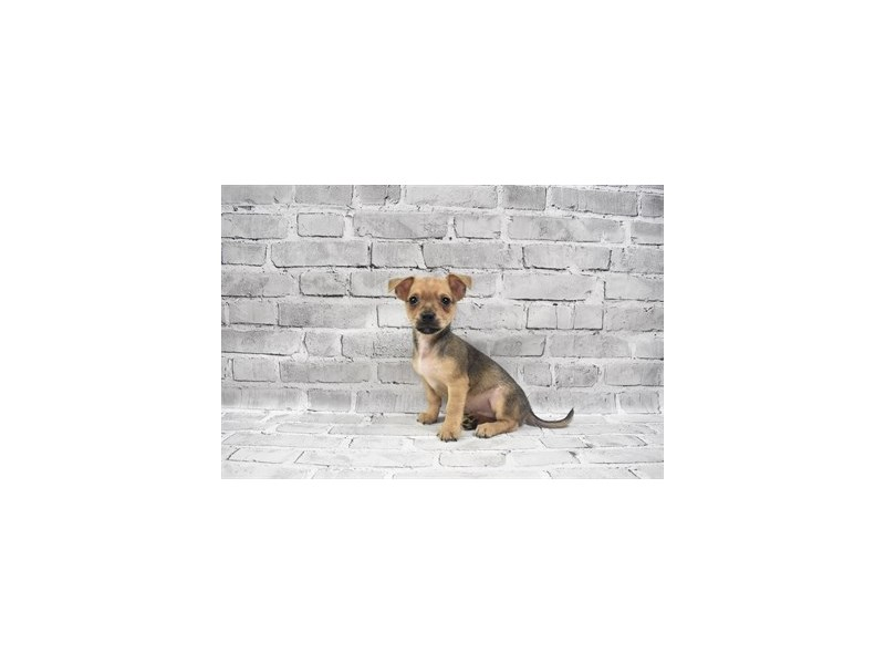 Chorkie- Available 6/24-DOG-Male-Fawn-3190874-PetCenter Old Bridge Puppies For Sale
