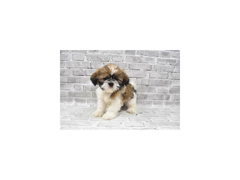 Shih Tzu- Available 6/24-DOG-Male-Gold and White-3190884-PetCenter Old Bridge Puppies For Sale