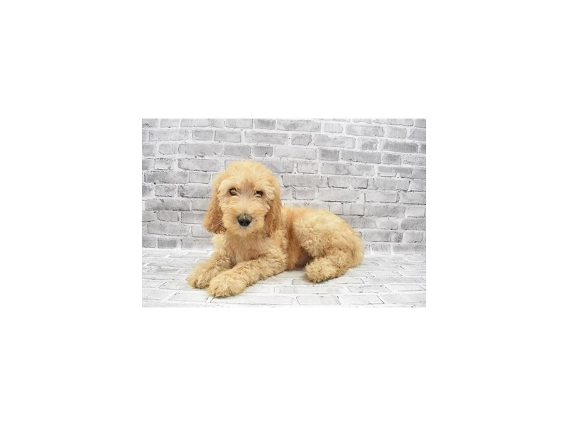 Goldendoodle 2nd Gen- Available 6/24-DOG-Male-Golden-3191070-PetCenter Old Bridge Puppies For Sale