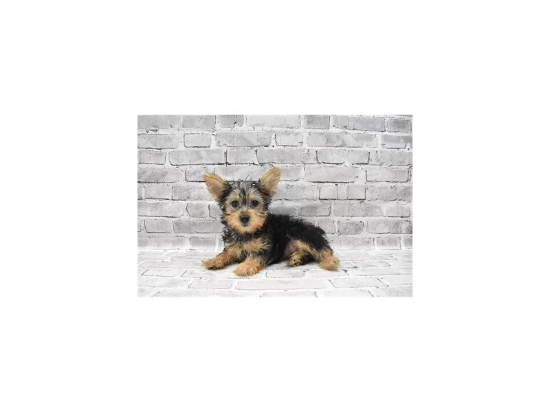 Silky Terrier - Coming Soon-Female-Black and Tan-3132685-PetCenter Old Bridge Puppies For Sale