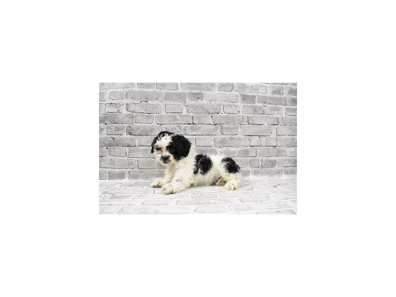 Teddy Bear - Available 5/27-DOG-Male-Black and White-3153569-PetCenter Old Bridge Puppies For Sale