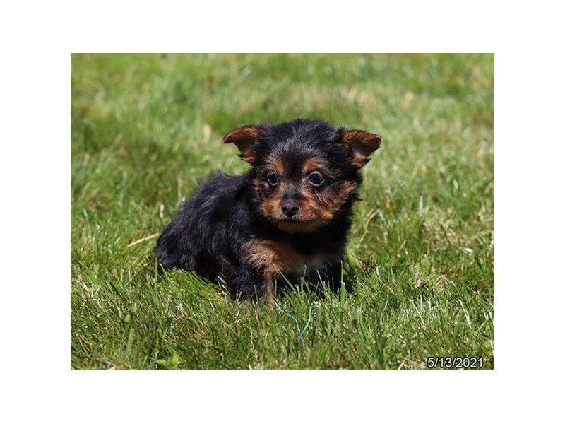 Silky Terrier - Available 6/3-DOG-Female-Black / Tan-3161063-PetCenter Old Bridge Puppies For Sale