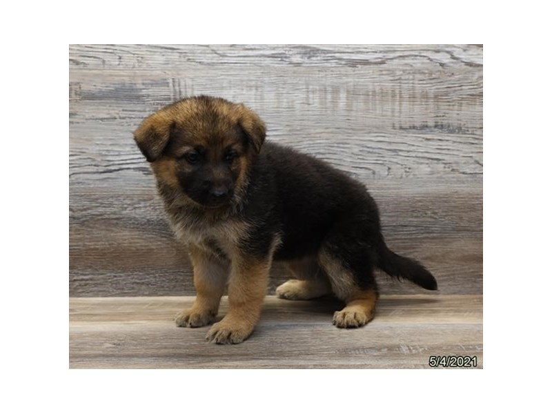 German Shepherd - Available 6/3-DOG-Female-Black-3161065-PetCenter Old Bridge Puppies For Sale