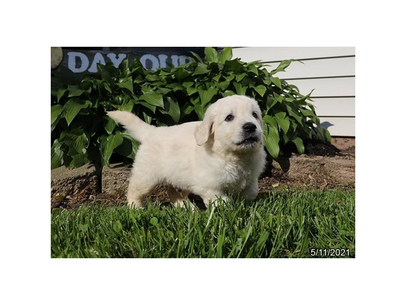 Golden Retriever - Available 6/10-DOG-Male-Cream-3171156-PetCenter Old Bridge Puppies For Sale