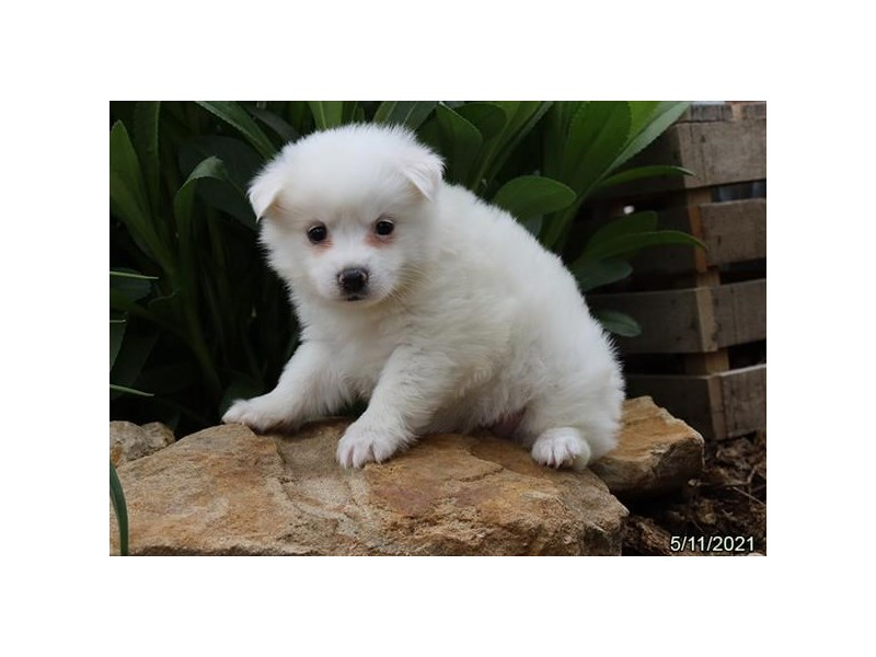 American Eskimo - Available 6/10-DOG-Female-White-3171159-PetCenter Old Bridge Puppies For Sale
