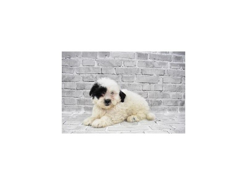 Teddy Bear - Available 6/10-DOG-Male-Black and White-3172703-PetCenter Old Bridge Puppies For Sale