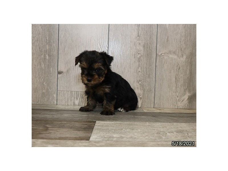 Yorkshire Terrier- Available 6/17-DOG-Female-Black / Tan-3180755-PetCenter Old Bridge Puppies For Sale