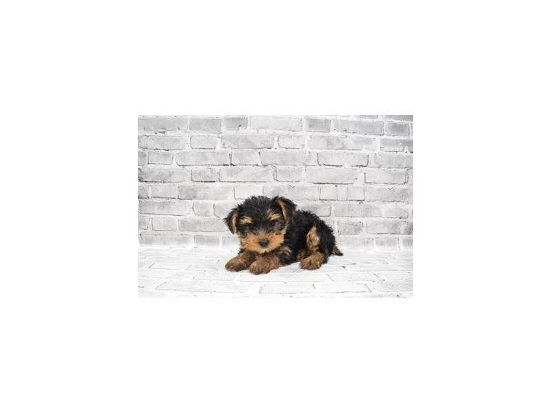 Yorkshire Terrier- Available 6/17-Female-Black and Tan-3181774-PetCenter Old Bridge Puppies For Sale