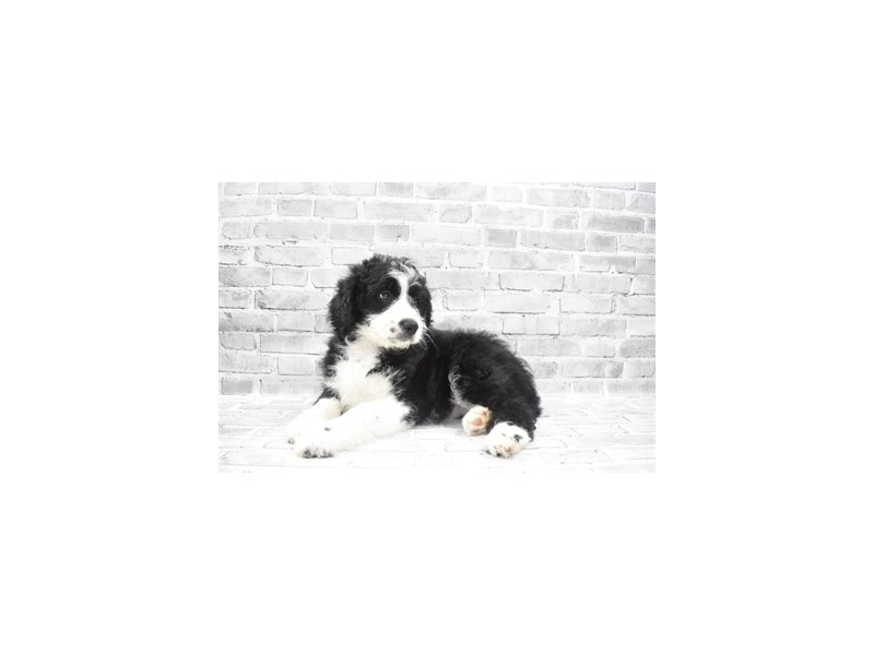 Aussiedoodle- Available 6/17-DOG-Female-Black and White-3181821-PetCenter Old Bridge Puppies For Sale