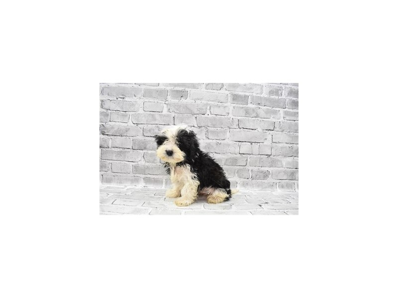 Cavapoo- Available 6/17-DOG-Female-Black and White-3181852-PetCenter Old Bridge Puppies For Sale