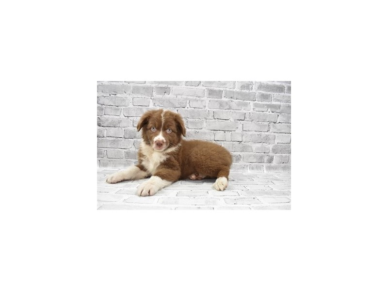 Australian Shepherd- Available 6/17-DOG-Female-Red-3181878-PetCenter Old Bridge Puppies For Sale
