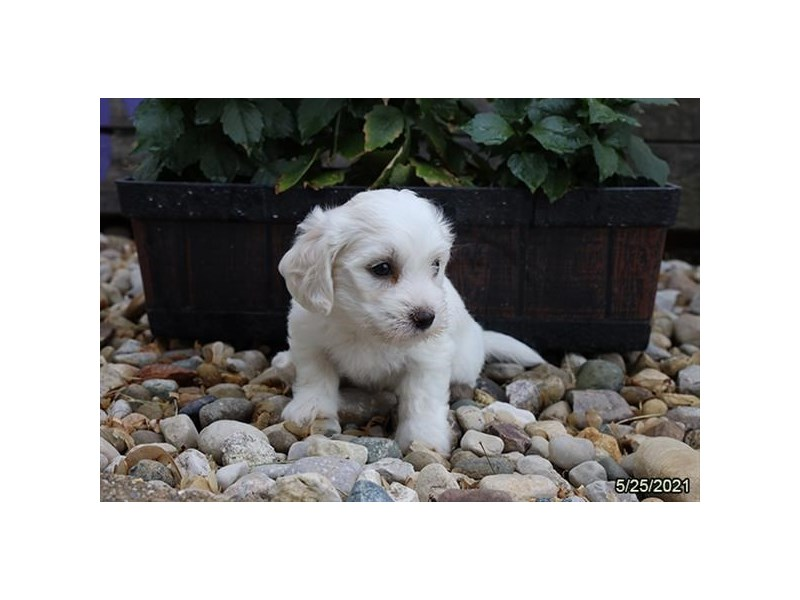 Coton De Tulear- Available 6/24-Male-White-3189145-PetCenter Old Bridge Puppies For Sale