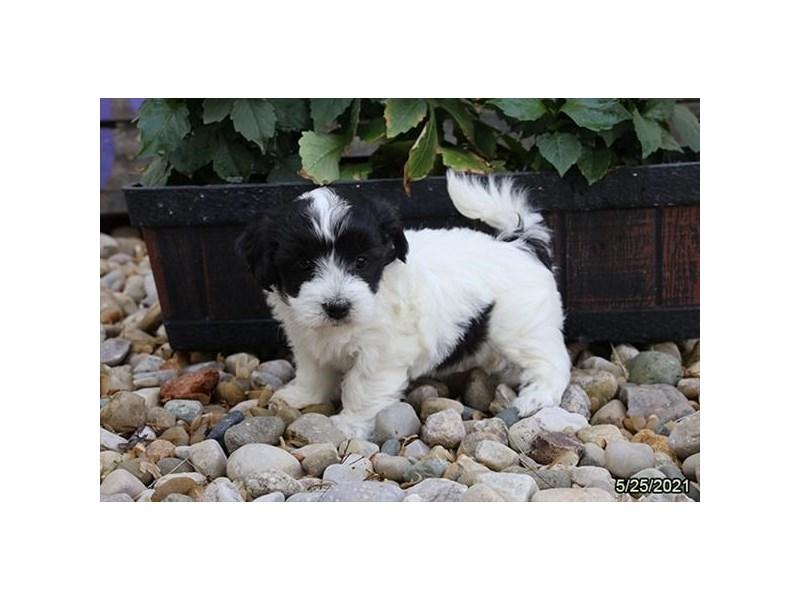 Coton De Tulear- Available 6/24-DOG-Female-Black / White-3189147-PetCenter Old Bridge Puppies For Sale