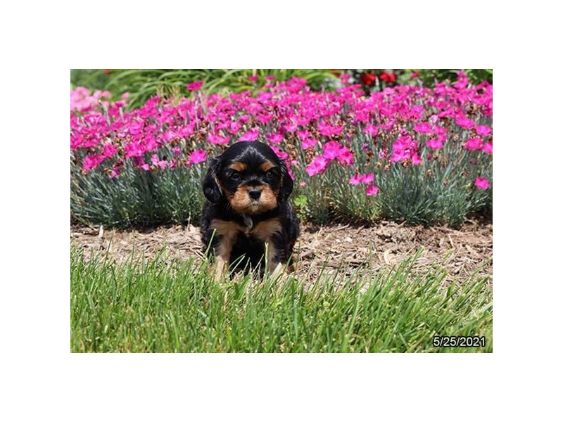 Cavalier King Charles Spaniel- Available 6/24-DOG-Male-Black / Tan-3189148-PetCenter Old Bridge Puppies For Sale