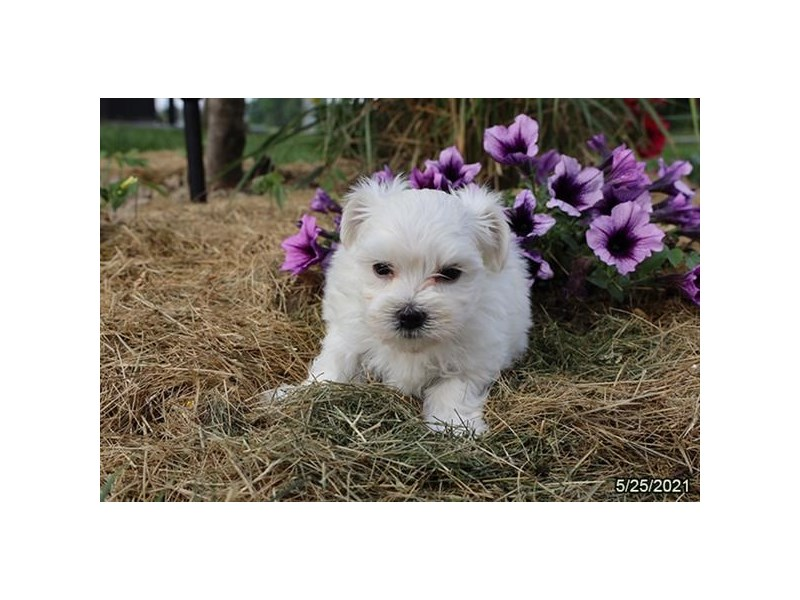 Maltese- Available 6/24-DOG-Male-White-3189149-PetCenter Old Bridge Puppies For Sale
