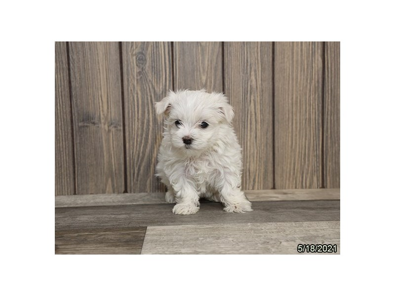Maltese- Available 6/24-Female-White-3189156-PetCenter Old Bridge Puppies For Sale