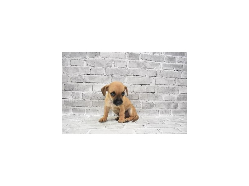 Pomchi- Available 6/24-DOG-Male-Fawn-3190878-PetCenter Old Bridge Puppies For Sale