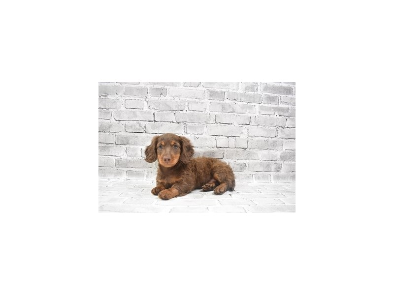 Dachshund- Available 6/24-DOG-Female-Chocolate and Tan-3191035-PetCenter Old Bridge Puppies For Sale