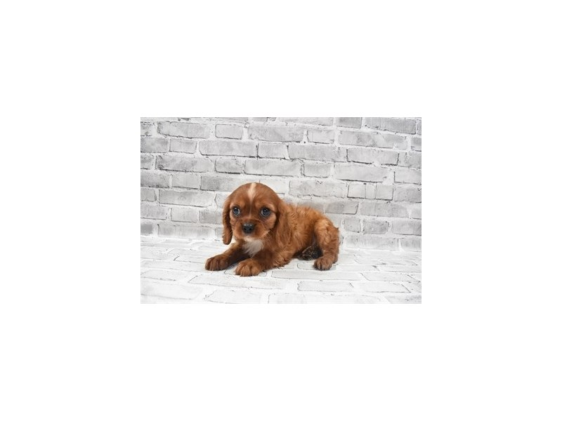 Cavalier King Charles Spaniel- Available 6/24-Male-Ruby-3191045-PetCenter Old Bridge Puppies For Sale