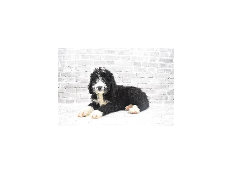 Bernedoodle- Available 6/24-DOG-Female-Black and White-3191113-PetCenter Old Bridge Puppies For Sale
