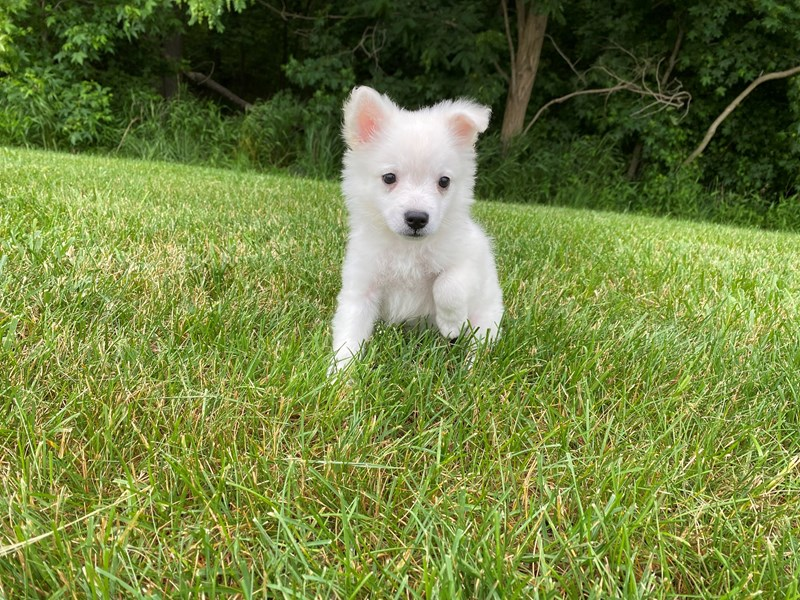 American Eskimo- Available 6/24-DOG-Male-White-3189151-PetCenter Old Bridge Puppies For Sale