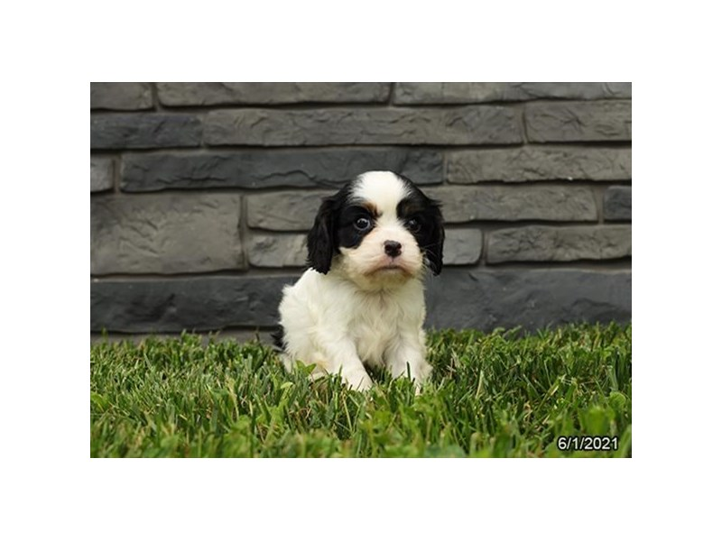Cavalier King Charles Spaniel- Available 7/1-DOG-Male-Tri-Colored-3199169-PetCenter Old Bridge Puppies For Sale