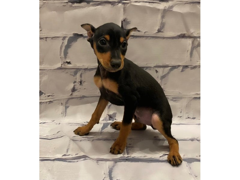 Miniature Pinscher- Available 7/1-DOG-Male-Black / Tan-3199115-PetCenter Old Bridge Puppies For Sale