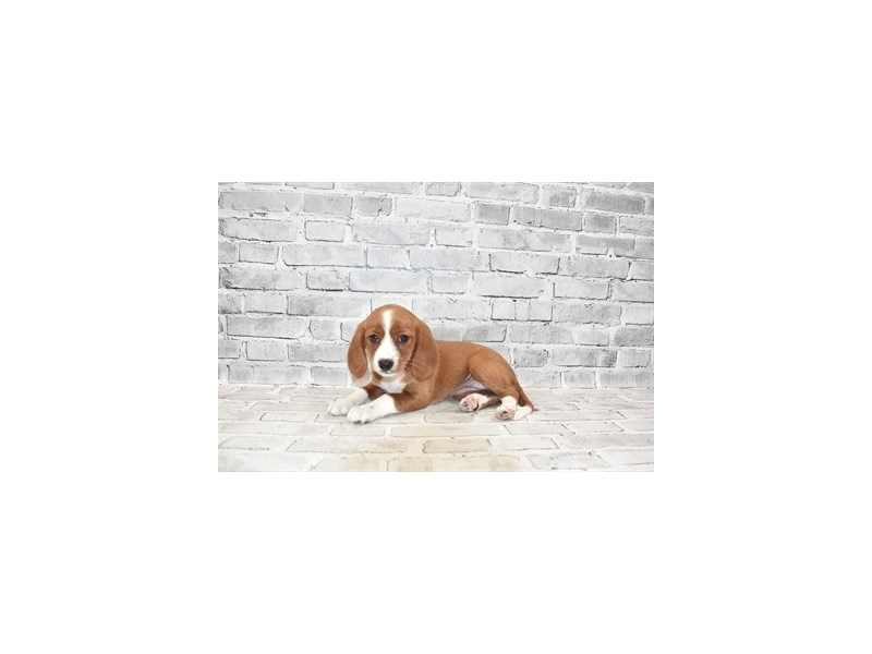 Beaglier- Available 6/30-DOG-Female-Red and White-3200149-PetCenter Old Bridge Puppies For Sale