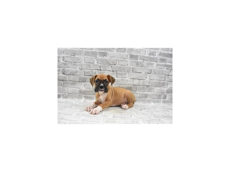 Boxer- Available 6/30-DOG-Female-Fawn-3200156-PetCenter Old Bridge Puppies For Sale