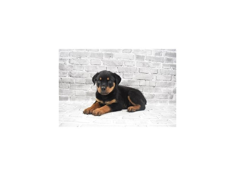 Rottweiler- Available 7/8-DOG-Female-Black and Mahogany-3200248-PetCenter Old Bridge Puppies For Sale