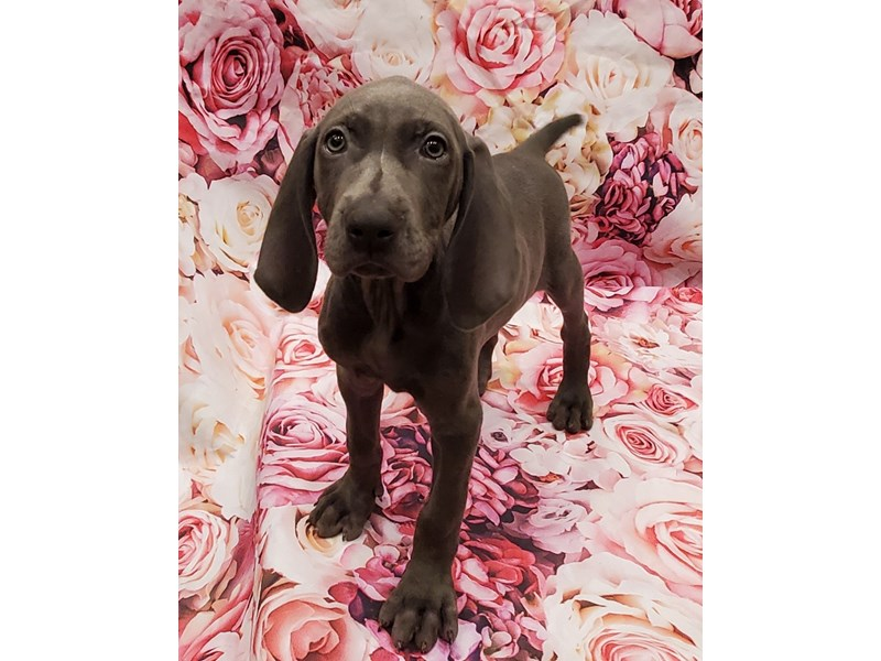 Weimaraner- Available 7/1-DOG-Female-Blue-3199112-PetCenter Old Bridge Puppies For Sale