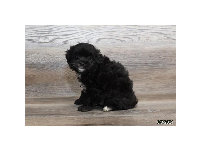 Chinpoo- Available 7/8-DOG-Male-Black-3209089-PetCenter Old Bridge Puppies For Sale
