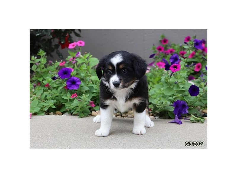 Miniature Australian Shepherd- Available 7/8-DOG-Female-Black Tan / White-3209090-PetCenter Old Bridge Puppies For Sale