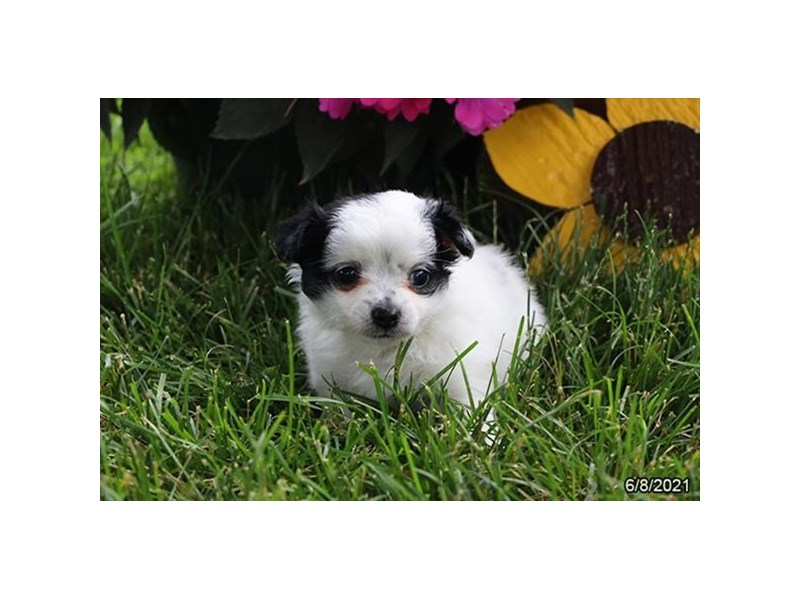 Chihuahua- Available 7/8-DOG-Male-White-3209091-PetCenter Old Bridge Puppies For Sale