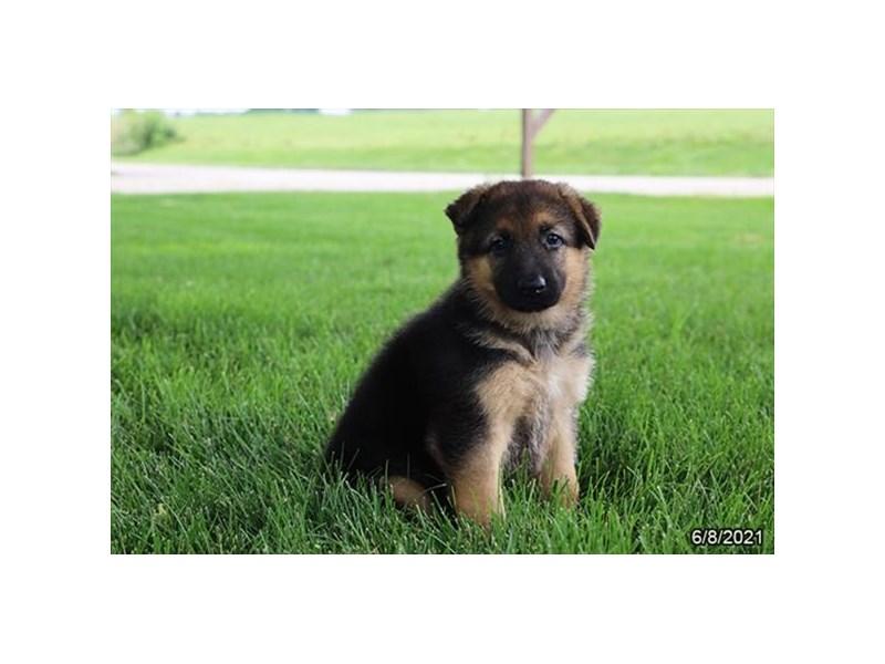 German Shepherd- Available 7/8-DOG-Female-Black / Tan-3209092-PetCenter Old Bridge Puppies For Sale